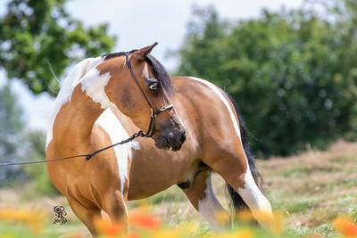Llamecuf Miniature Horses