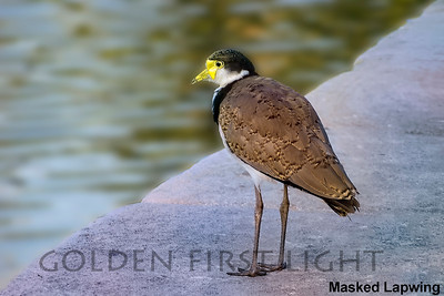 Masked Lapwing, Australia