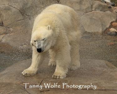 Bear, Polar