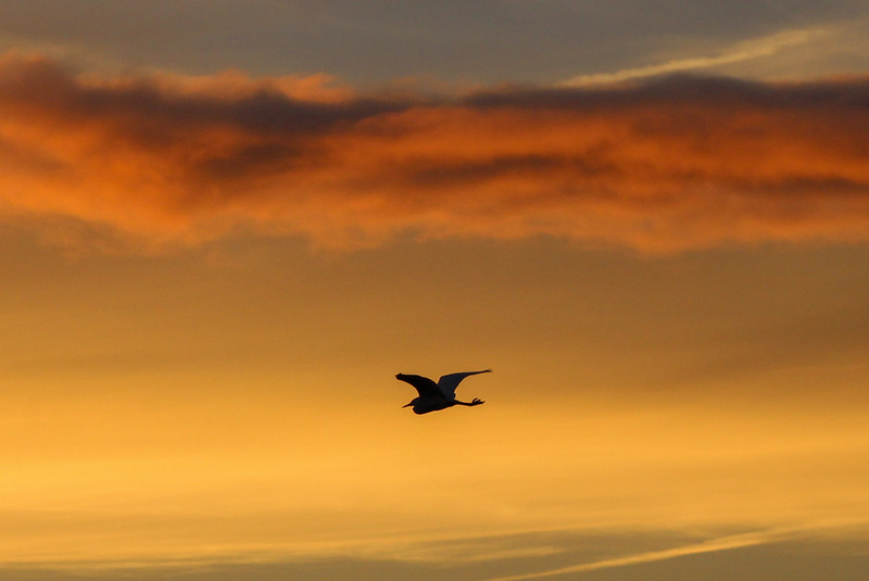Little Egret at Sunset