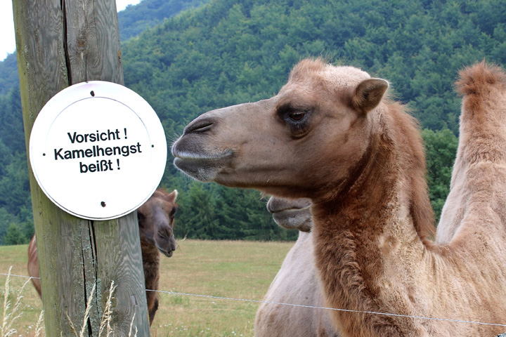 """. Camels on a meadow with a warning sign \""""Caution, camel bites\"""" on a farm near Usingen, Germany, July 25, 2013.  (Photo by Hannelore Foerster/Getty Images)"""