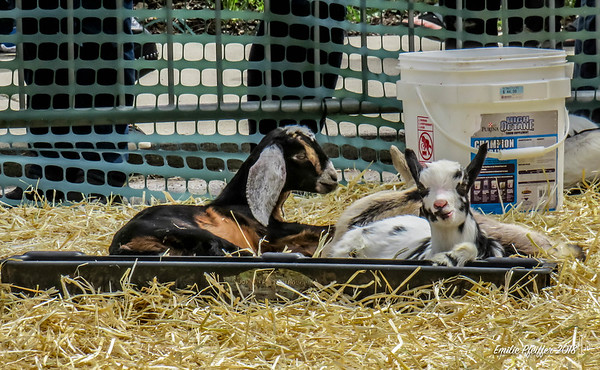 Bock and Goat Fest
