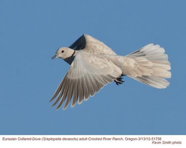 Pigeons, Doves