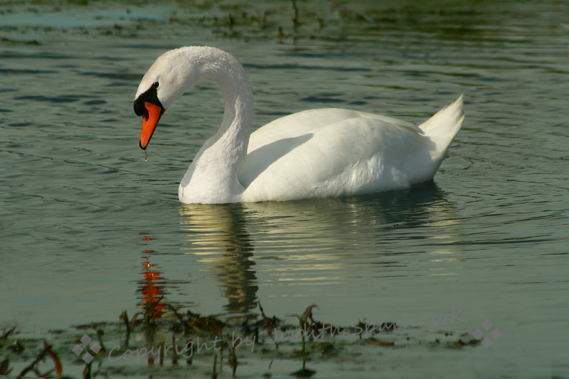 Solo Swan ~ This male Mute Swan was in Port Cinton, Ohio.  His nest was nearby.