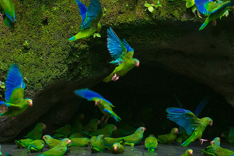 Cobolt-winged Parakeets, Amazon basin, Ecuador