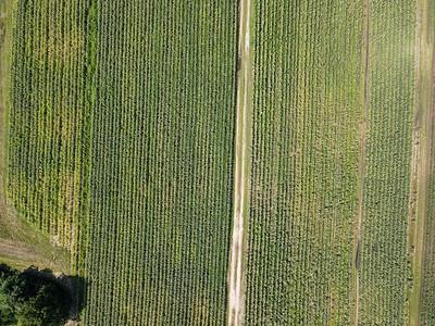 SAJA Farm Cornfields