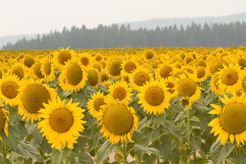 sun flowers-3910.jpg