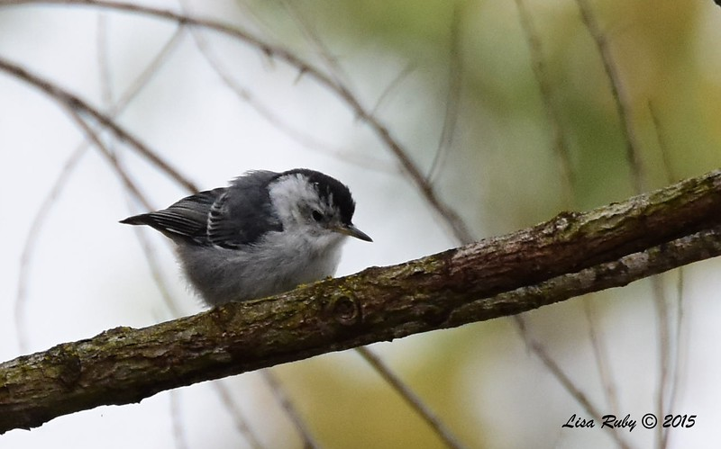 White-breasted Nuthatch  - 5/25/2015 - Mast Park, Santee
