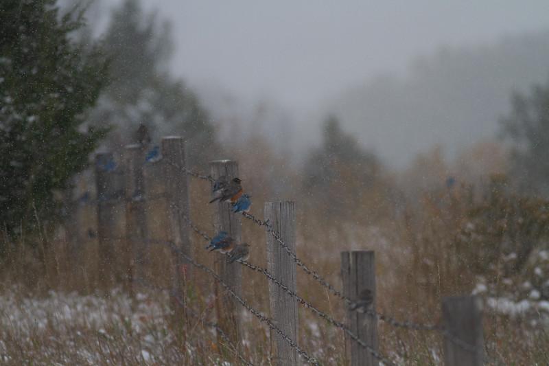 Mountain Bluebird flock on barbed wire fence in snow Theodore Roosevelt National Park Medora ND -1799.jpg