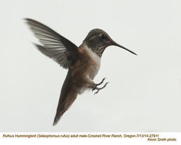 Rufous Hummingbird M27911.jpg