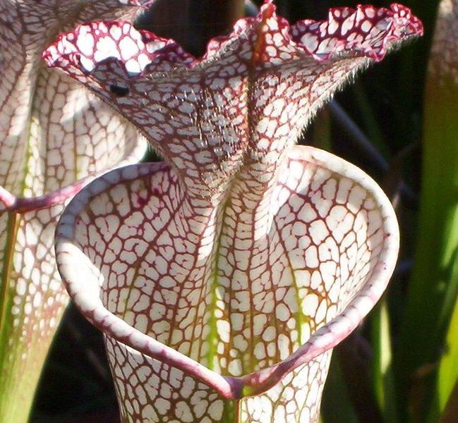 841573796-Sarracenia-leucophylla-detail.jpg