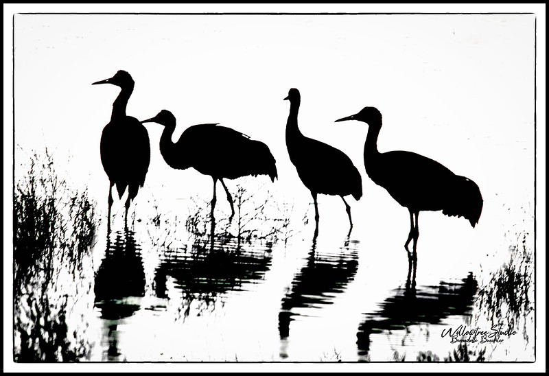 Cranes In Black and White-Bosque Apache National Park, New Mexico.jpg