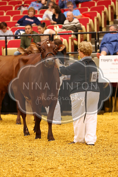 World Dairy Expo Milking Shorthorn Show 2016