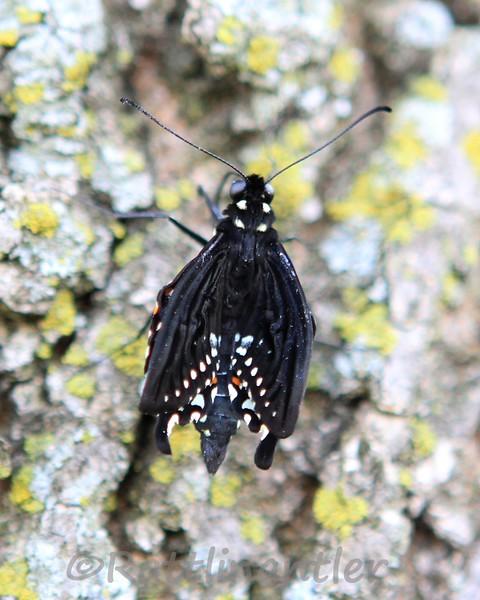 TigerSwallowtail032012_001.jpg