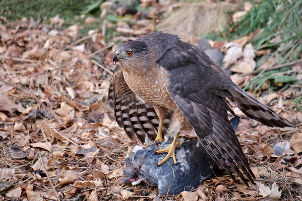 Hawk and Pigeon
