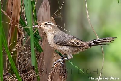 Thrush-like Wren, Pantanal, Brazil