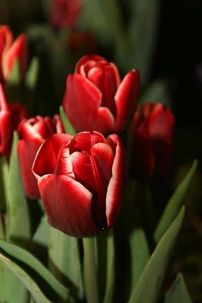 red_rose_s_donato_11_20141019_1338675164.jpg