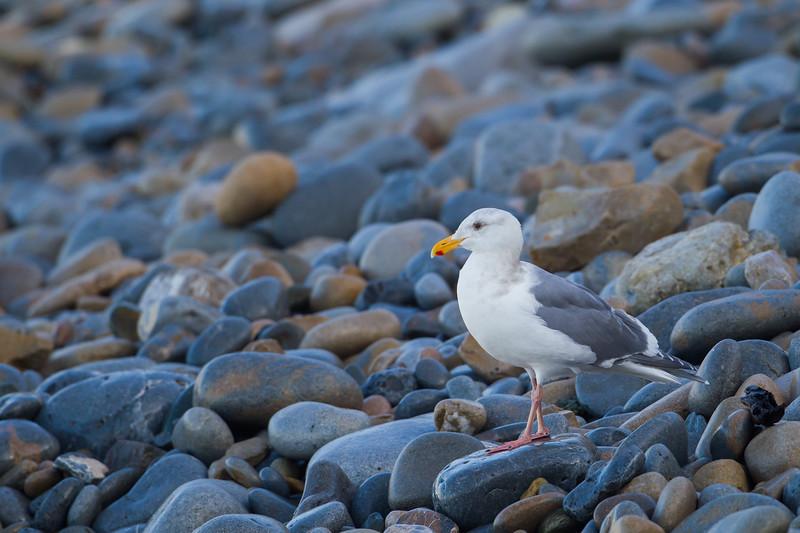 Western Gull - Pescadero, CA, USA