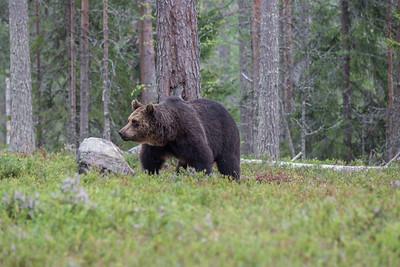 Finnland bears