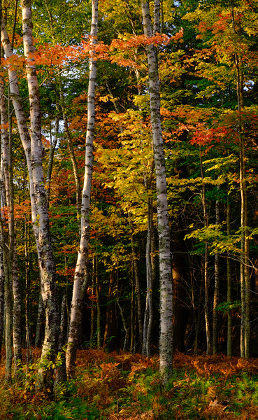 Fall Colors and Birch Trees
