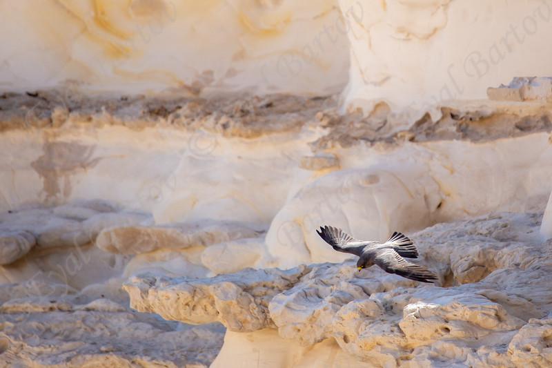 14. Sooty Falcon (Falco concolor) - בז שחור