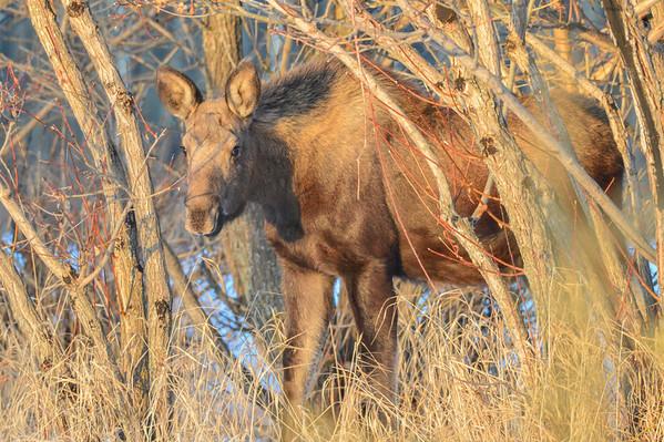 11 2013 Nov 27 Moose Family Sundre*^