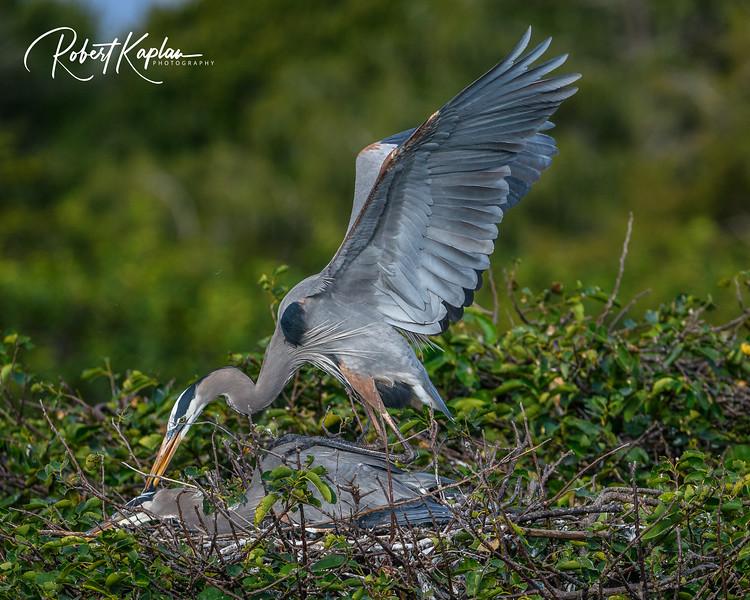 Great Blue Heron-9819.jpg