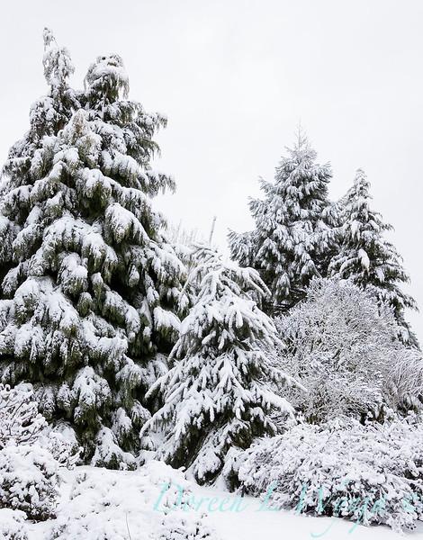 Picea glauca 'Wells' Weeper' - Chamaecyparis lawsoniana 'Golden King' in snow_4255.jpg