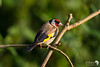 Goldfinch colours