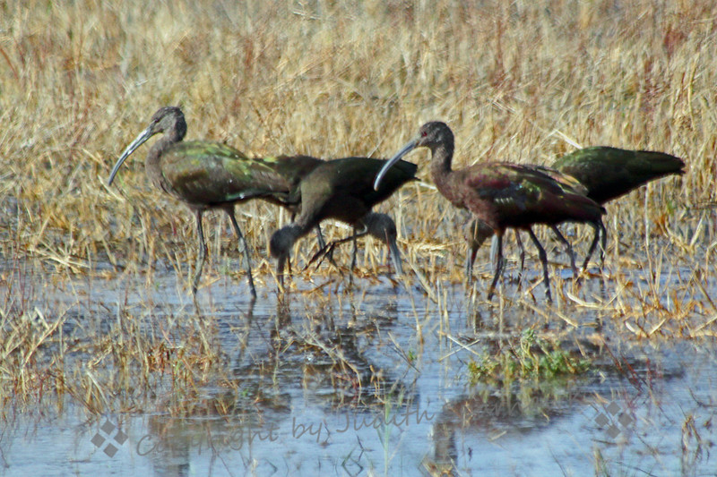 White-faced Ibises ~ A small group of the ibises foraging in shallow water at San Jacinto Wildlife Area.