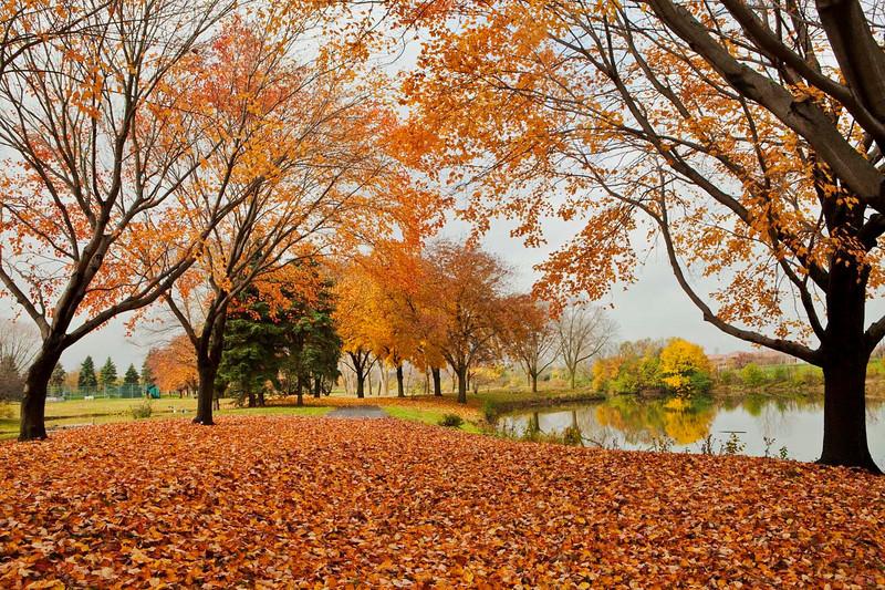 Fall color with leaf carpet, OakBrook, Illinois