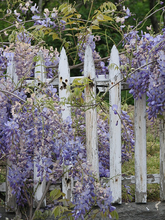 Wisteria and Lilacs