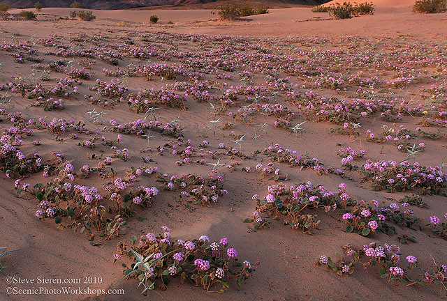 Wildflowers in Death Valley Dunes