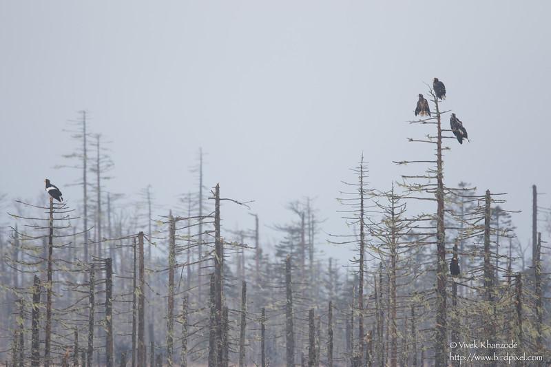 White-tailed Eagles and Steller's Sea-Eagles on trees - Hokkaido, Japan