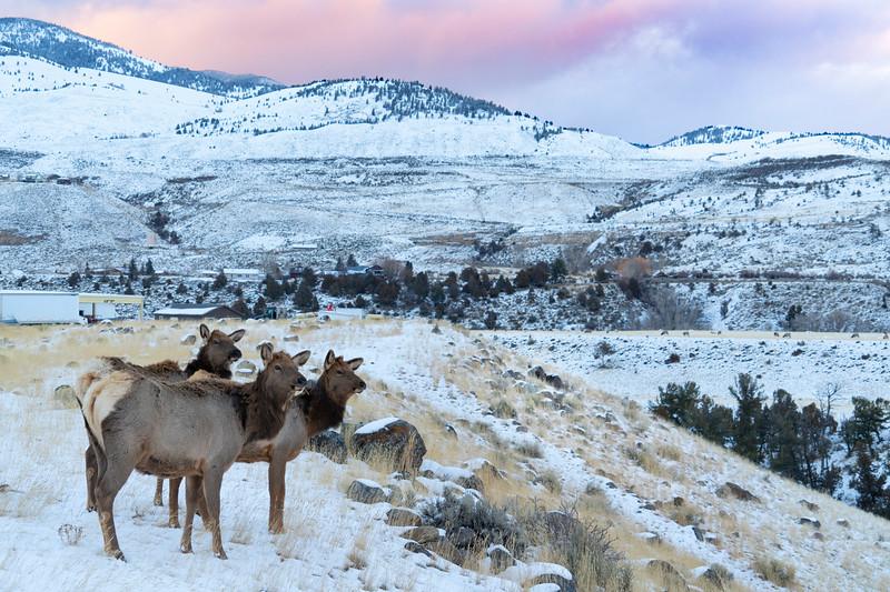 _AR70844 Three elk by Gardiner.jpg