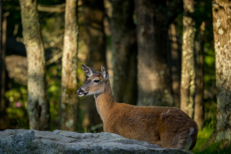 White Tailed Deer, Evening