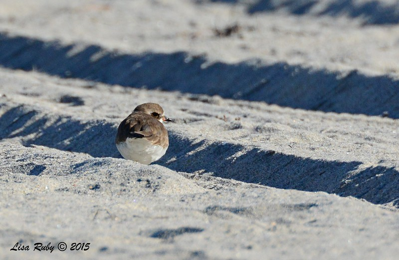 Semi-palmated Plover - 2/6/2015 - north county state beach