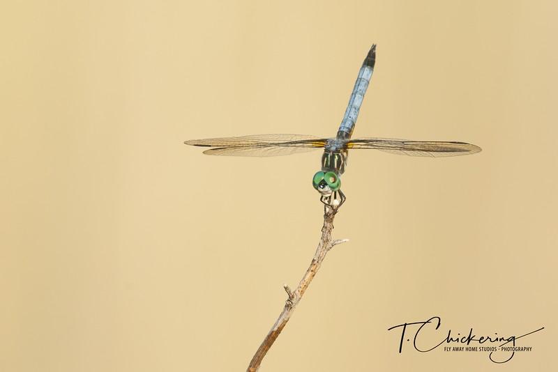 Blue Dasher Dragonfly Twelve-1561322782417.jpg