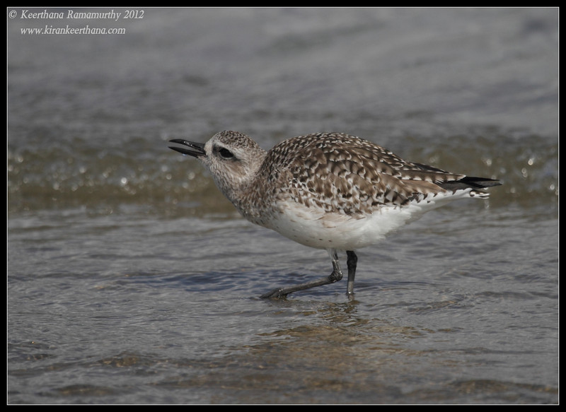 Black-bellied Plover calling, Coronado Ferry Landing, San Diego County, California, February 2012