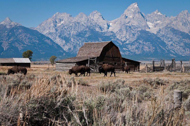Buffalo roaming along Mormon Row