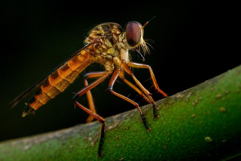 Robber-fly-portrait-valparai.jpg