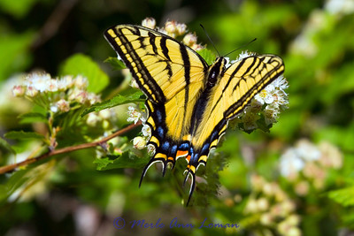 June 2011 - Swallowtail Butterfly on a Ninebark shrub