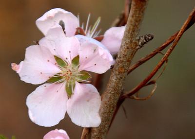 Ornamental Pear Blossoms  4-21-2013