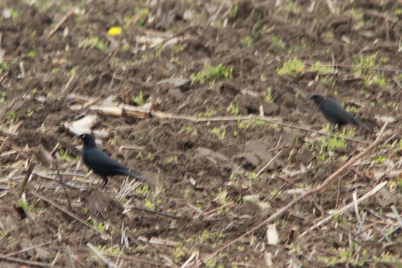Brewer's Blackbirds (Pair) @ Columbia Bottom CA