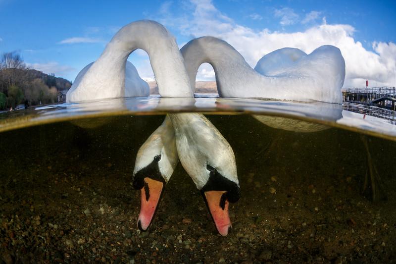 Swansfullres.jpg