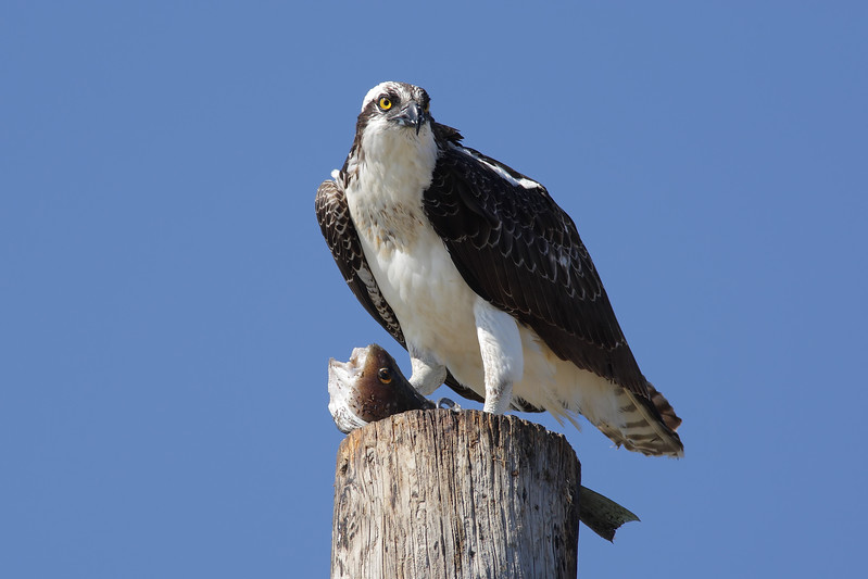 Osprey_With_Fish_2P8E8529.jpg