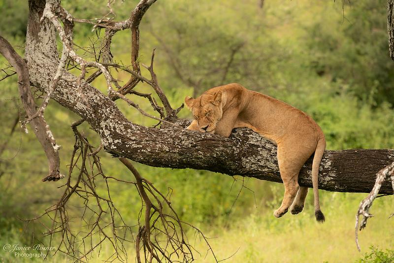 Sleepy Lion Mama