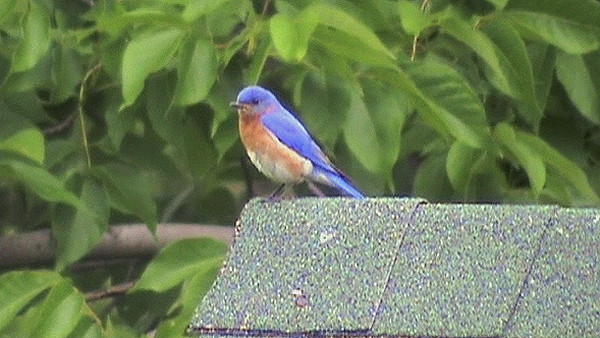 The Bluebirds of Contentment