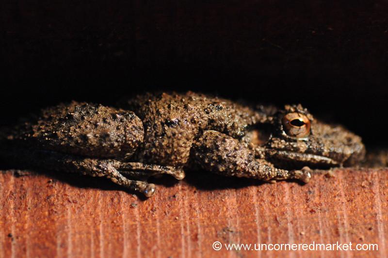 Frog Macro - Concepcion, Paraguay