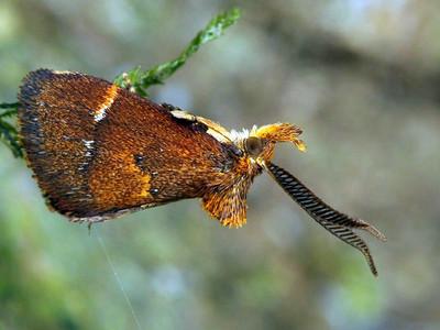 Limacodidae - Cup and Slug Moths